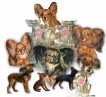 """Частный питомник декоративных пород собак """"ЭЛЬФИЛАС"""""""