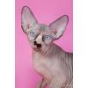 Богатая палитра окрасов котят канадских сфинксов.