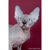 Канадский сфинкс — кошка с другой галактики.