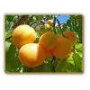 Масло абрикосовой косточки, 1л