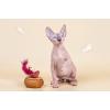 Сфинкс-восхитительный котёнок